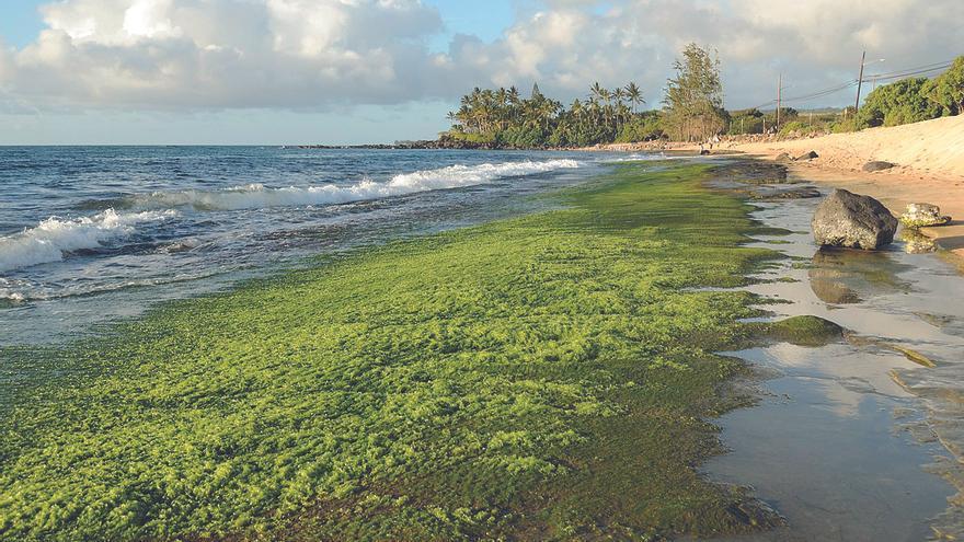 Las algas,  la despensa oceánica
