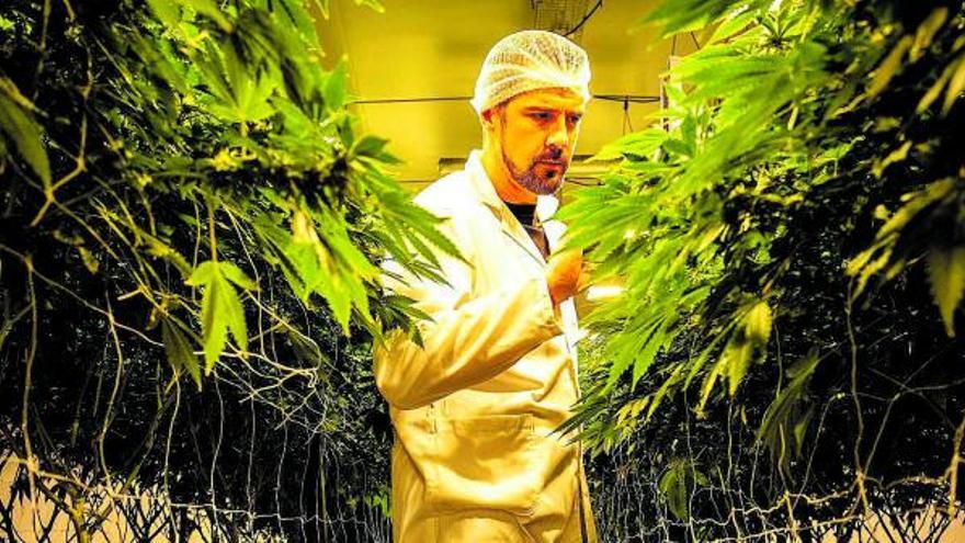 Tomateros canarios exploran la posibilidad de pasarse al cannabis