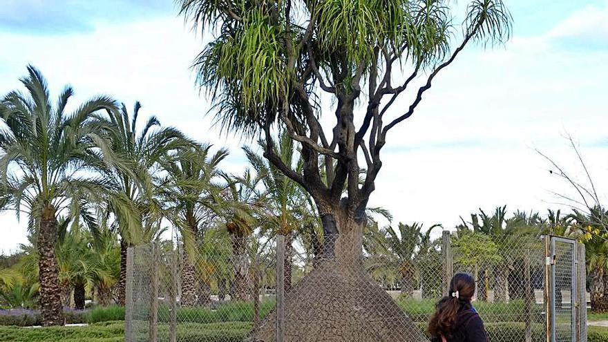 Así están los árboles monumentales y singulares de Elche: desamparados