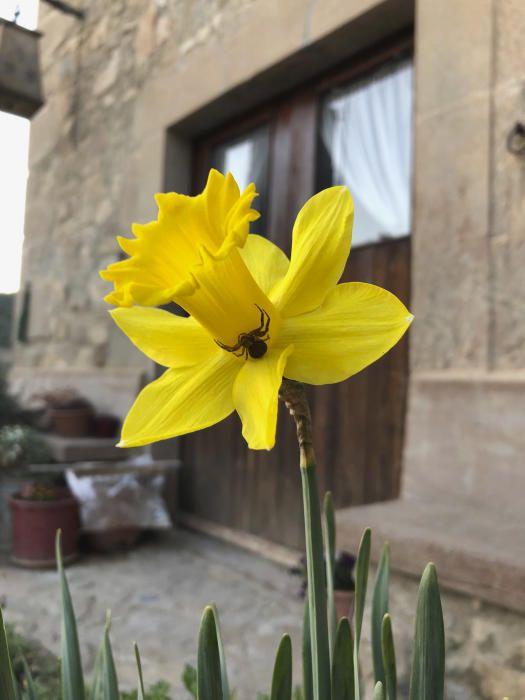 Visitant. Com podem observar en aquesta imatge feta des de Cardona, aquesta curiosa aranya escala els pètals d'un narcís ben groc, què deu estar buscant?