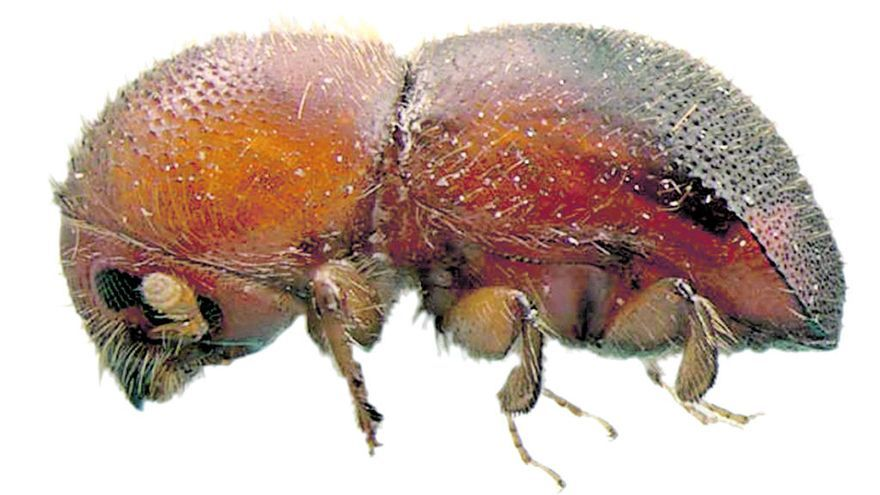 Cerco al escarabajo asiático que afecta a algarrobos centenarios