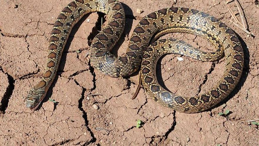 Richtig reagieren, wenn Sie auf Mallorca einer Schlange begegnen