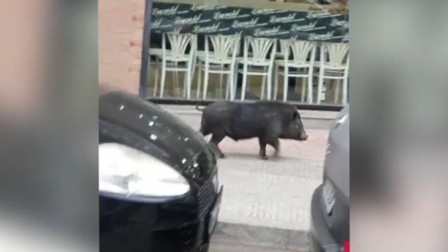 Los cerdos vietnamitas campan a sus anchas por Castelló