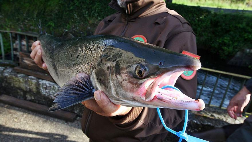 Xunta y Federación plantean un Concurso Internacional de Pesca de Salmón sin muerte