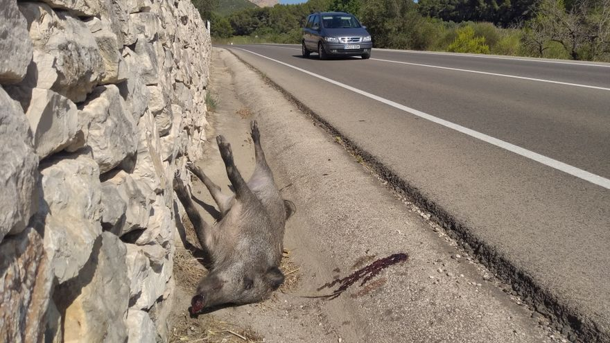 Nuevo atropello de un jabalí en la carretera de Xàbia a la Xara