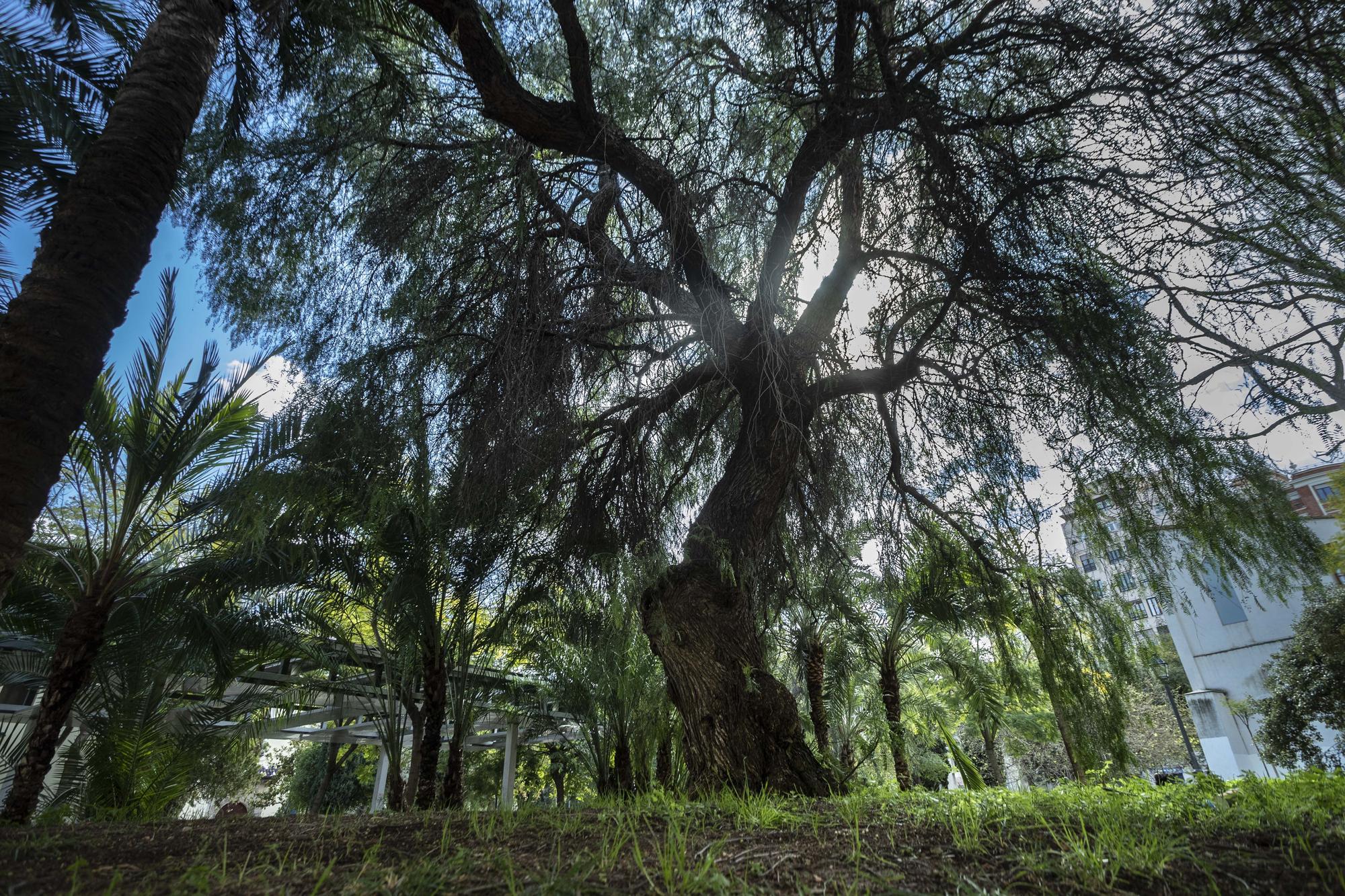 Los árboles monumentales más espectaculares del centro de València