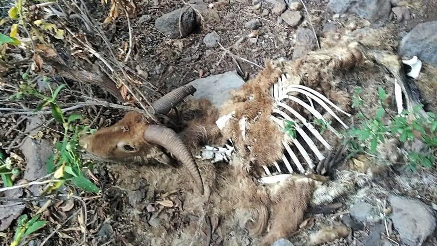 Cazadores denuncian el abandono de arruís muertos en las cumbres palmeras