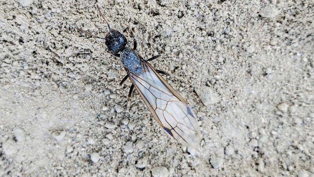 Aquests insectes són formigues, com les que veiem durant la resta de l'any, però neixen amb ales amb l'objectiu de volar i construir un nou formiguer.