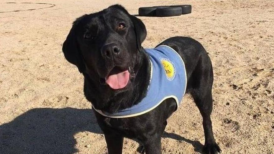 Roben a punta de pistola una gossa preparada per ajudar una nena amb discapacitat