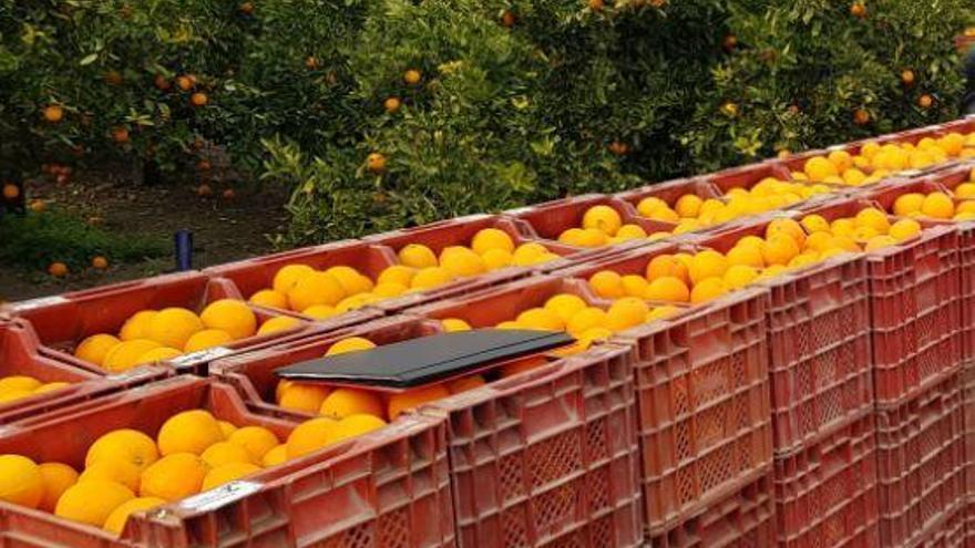 Investigan a cuatro hombres por robo continuado de naranjas en Benavites