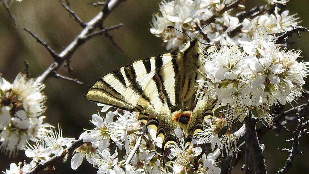 Papallona. Arribada la primavera, ja es comencen a veure les papallones volar. Aquesta, captada a Sant Llorenç de Morunys, té per nom zebrada i és relativament comuna al Prepirineu.