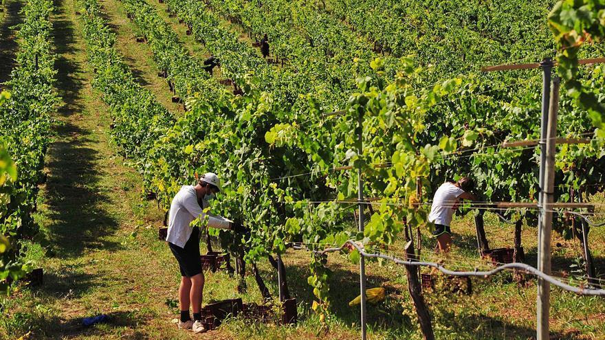 Objetivo: 44 millones de kilos de uva