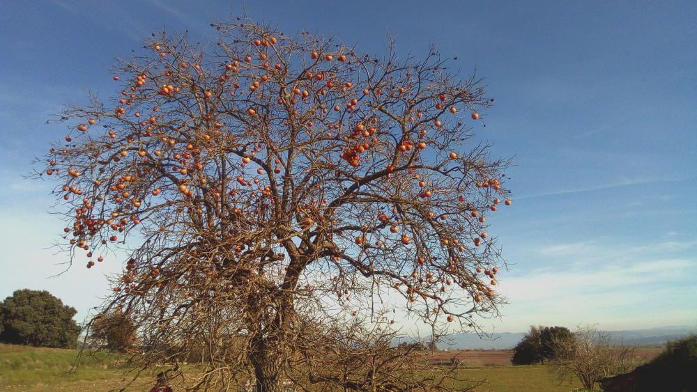 Caqui. La natura sempre ens sorprèn. Aquest arbre, un caqui, resisteix les baixes temperatures i continua el seu camí de vida, despullat de fulles, però ple de fuits, els caquis, que són ben dolços i bons.
