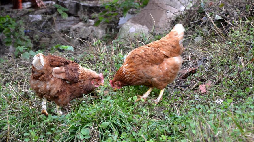 "Gallinas de récord en Cangas de Onís, con huevos de 115 gramos: ""Son campeonas, fuera de lo común"""