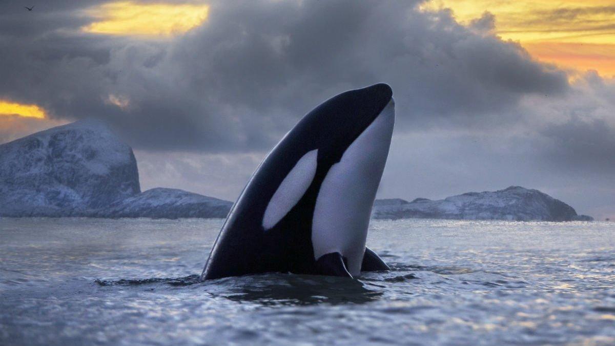 El ciclo tóxico que está acabando con las orcas asesinas
