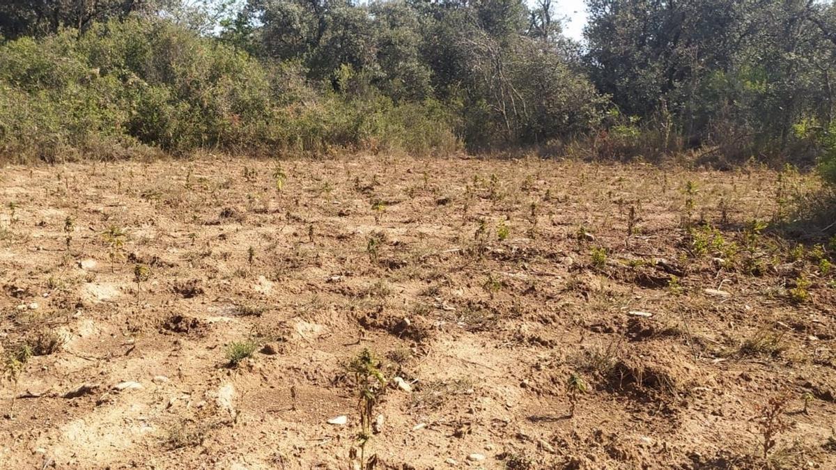 La Guardia Civil ha desmantelado un cultivo de 3.000 plantas de marihuana en la localidad de Angüés (Huesca).