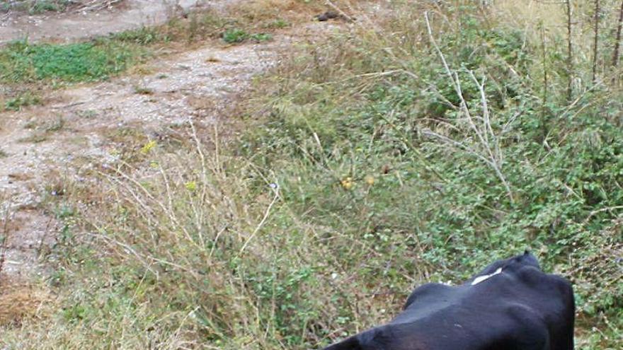 Traslladen la vaca de Castellbell al santuari Gaia de Camprodon