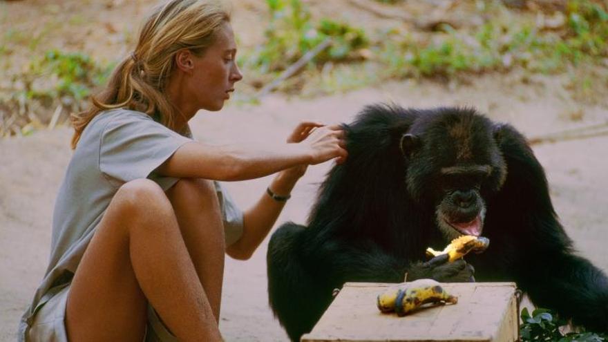 «Jane», l'antropòloga que va estudiar la vida dels ximpanzés