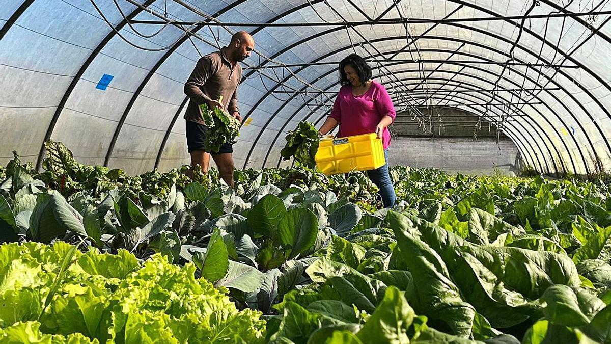Rodrigo Caunedo y la concejala Isabel Fernández realizan la recogida de algunos de los productos para la cesta en uno de los invernaderos de Rural EcoLab, en Villabona. | I. G.