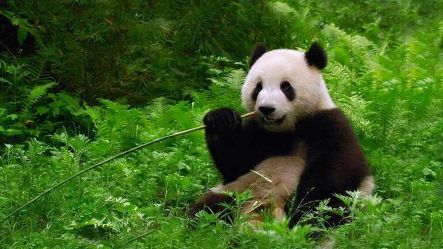 El oso panda se libra de los furtivos, pero ahora lo amenaza el cambio climático