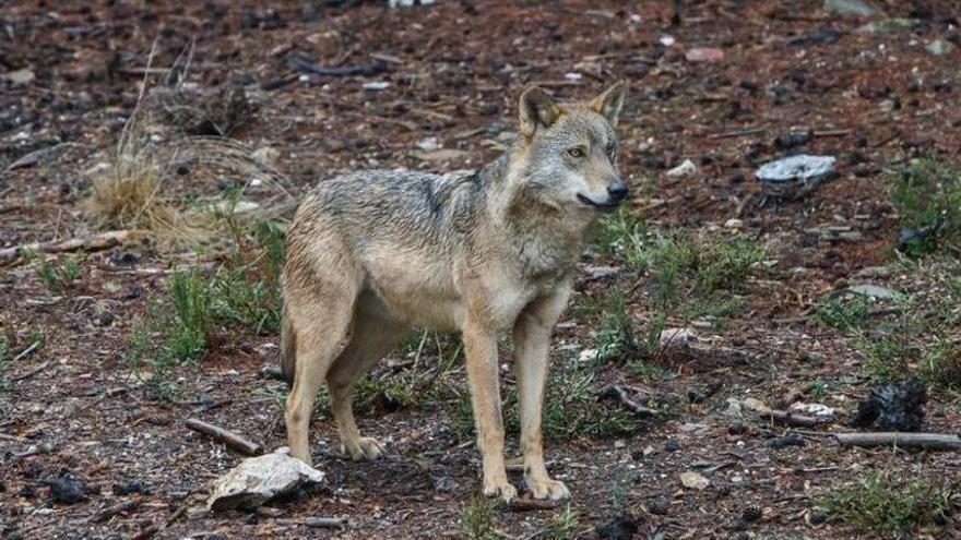 Suspendido el permiso para cazar al último lobo de Álava