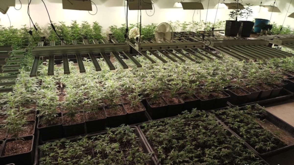 Tres detinguts per cultivar prop de 600 plantes de marihuana en un soterrani de Girona