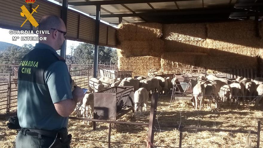 Detenidos los presuntos autores de un robo de ganado ovino a su paso por Córdoba