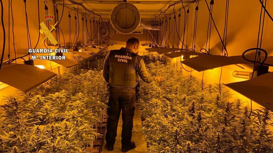 La Guardia Civil se incauta de 616 plantas de marihuana en Miajadas