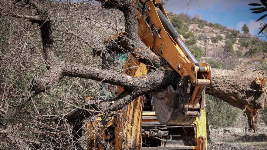La superficie afectada por la Xylella alcanza ya las 152.900 hectáreas