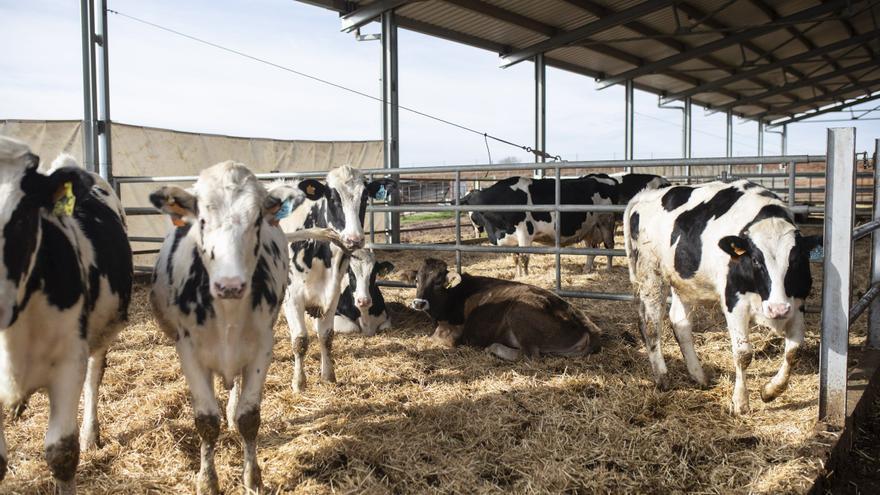 700 ganaderos zamoranos de vacuno reciben el primer anticipo de la PAC para nodrizas