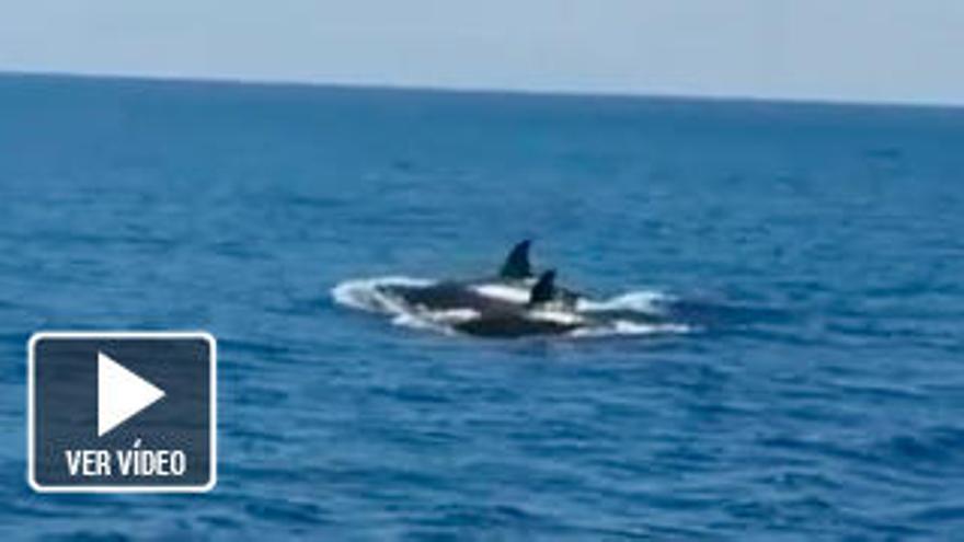 Unas orcas al sur de Fuerteventura muestran la diversidad de las aguas canarias