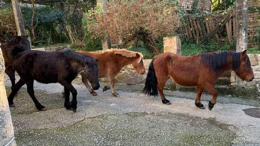 Rapa das Bestas recoge caballos que causaban problemas