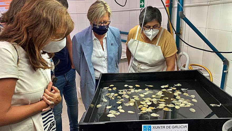 La USC colabora con la Xunta para mejorar la cría de semilla de moluscos