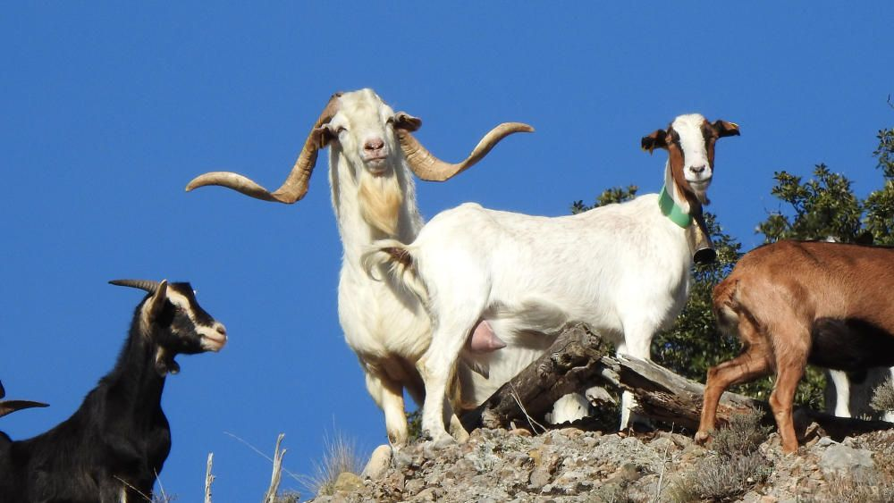 Cabra domèstica. Un dels nostres lectors, fent una petita excursió per la vall, de sobte va poder captar aquest boc acompayat d'unes cabres que l'observaven.