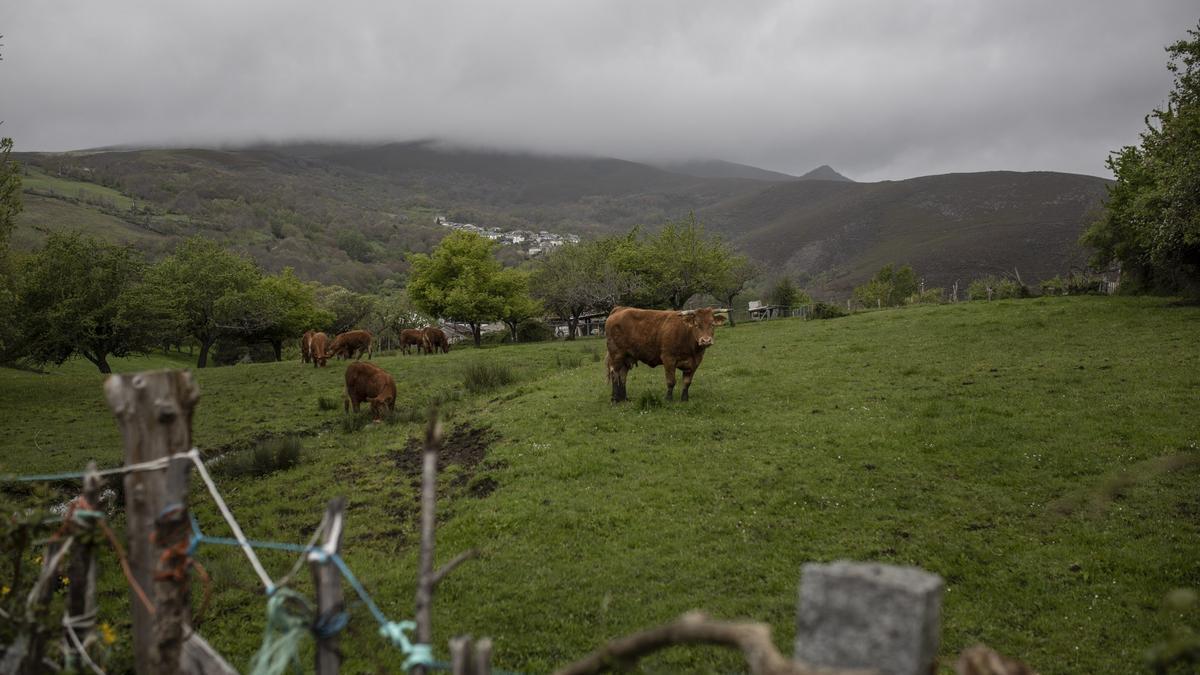 Vacas pastando en un prado en la provincia.