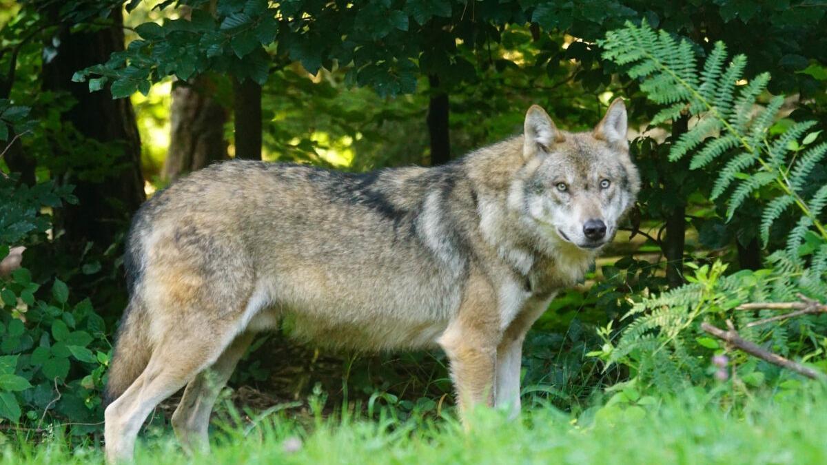¿Tiene que volver el lobo a Andalucía?