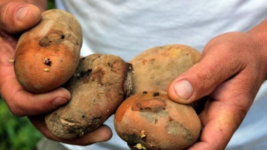 La polilla guatemalteca puede producir pérdidas del 50% de la cosecha