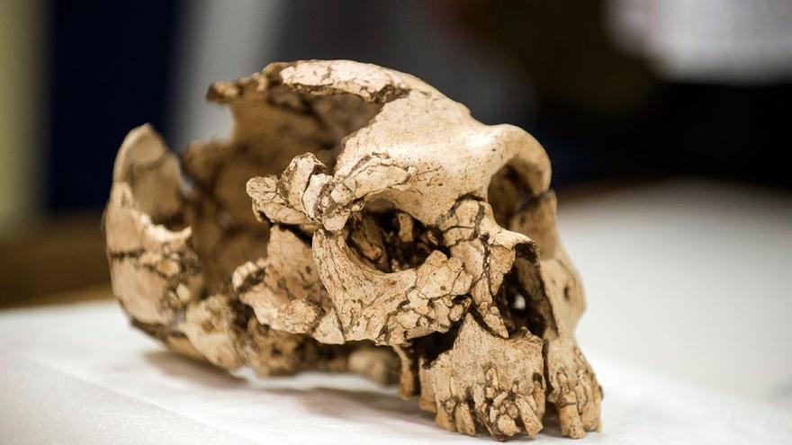 El Museu de Prehistòria exhibe un esqueleto neandertal hallado en Oliva