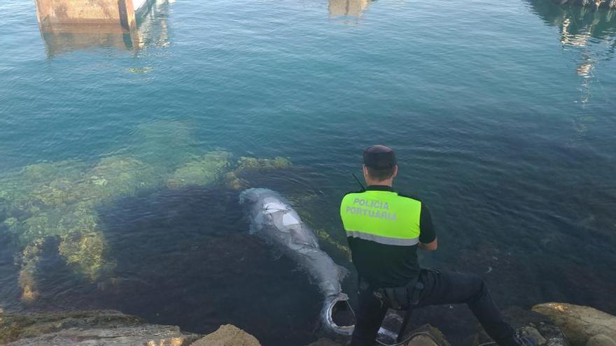 Aparece un tiburón muerto de tres metros en el puerto de Alicante