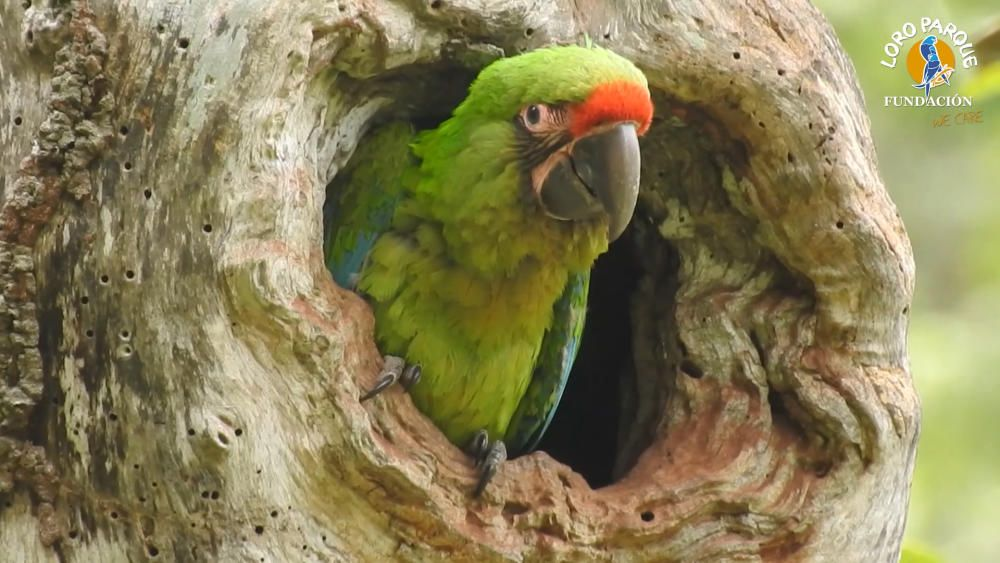 Loro Parque libera seis guacamayos en Ecuador