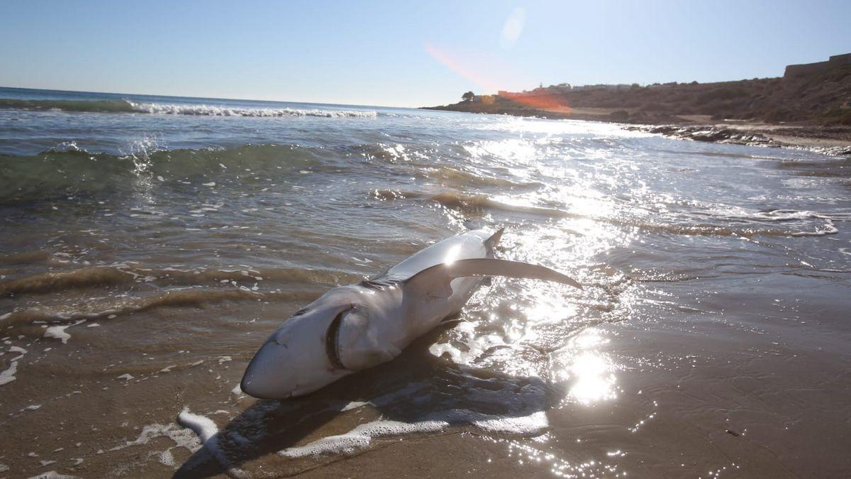 Aparece un tiburón varado en una playa valenciana