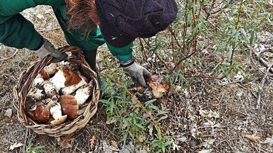 La campaña de setas comienza hoy con la previsión de recolectar 172 toneladas en Aliste