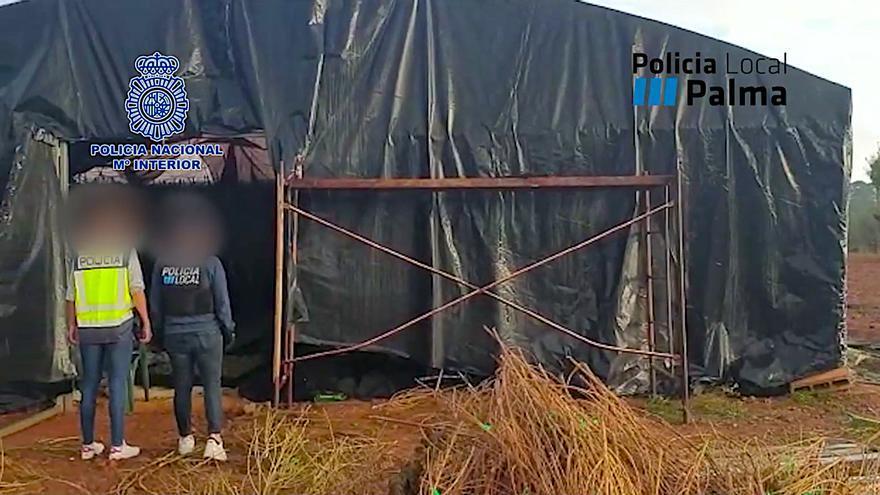 La Policía desmantela en Palma un gran cultivo con más de 1.100 plantas de marihuana
