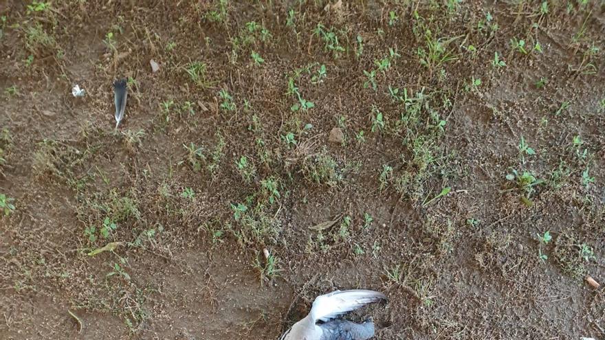Lex Ànima denuncia una matança de coloms, per part dels Agents Rurals, a Vilafant