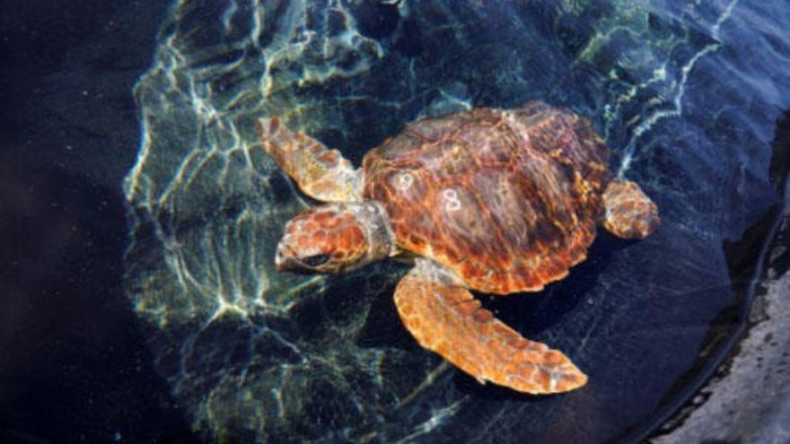 ¿Colonizarán las tortugas boba la costa de Málaga?