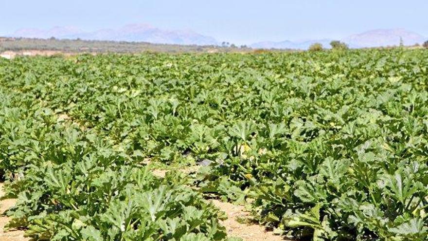 Mallorca-Zucchini: Auf die richtige Länge kommt es an