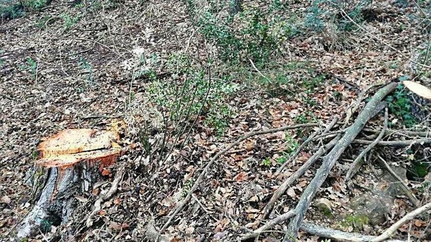 Els Agents Rurals afirmen que la tala d'arbres a Rajadell estava autoritzada