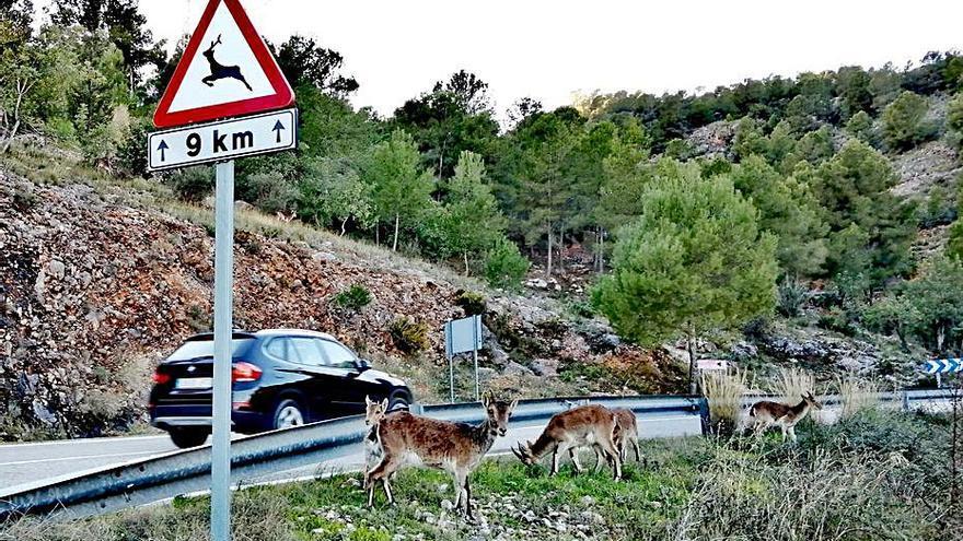 Las cabras se pasean por Sumacàrcer