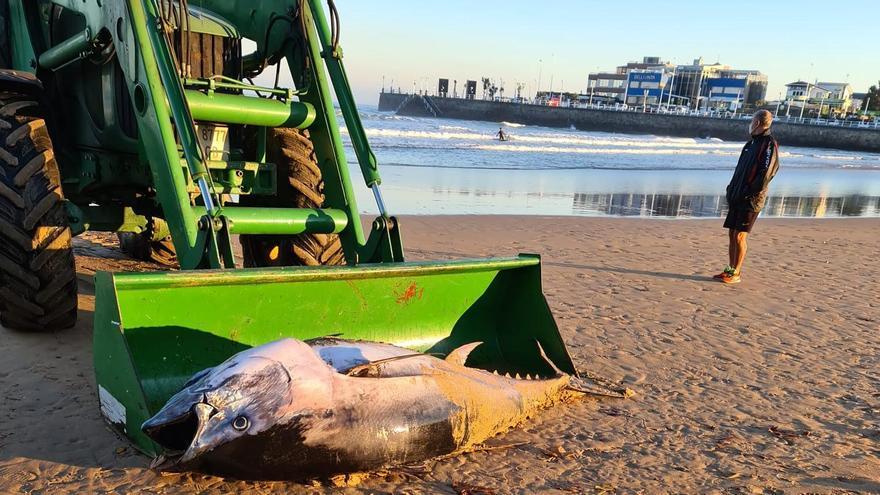 Retiran un atún muerto en la orilla de la playa de San Lorenzo