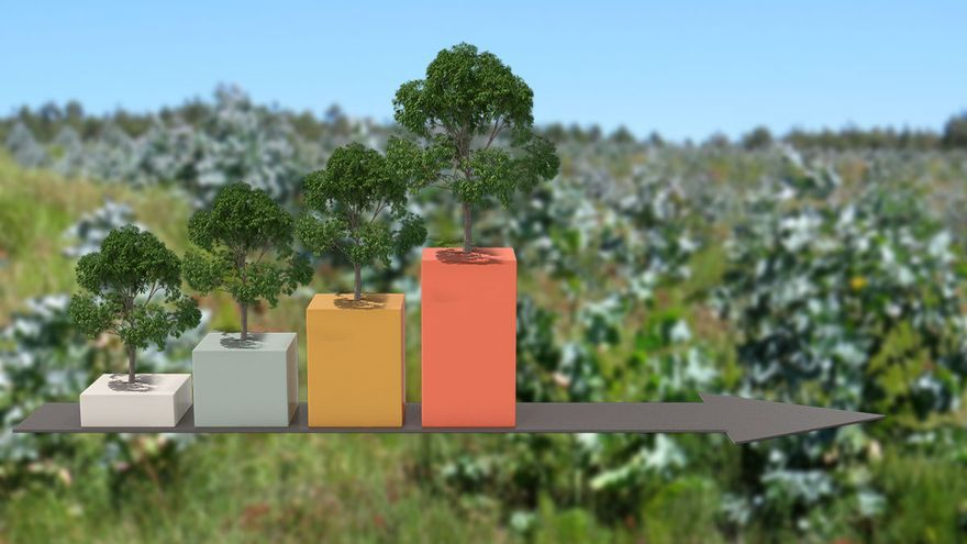 Las sanciones por plantaciones ilegales de eucalipto crecen y se sitúan en 26 al mes